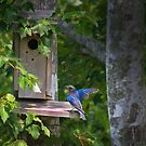 Blue Bird Checking out the Bird House by TJ Baccari Photography