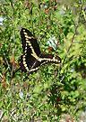 Swallowtail Butterfly#2 by Cathy Jones