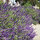 lavender  plant San Capastiono California by megga