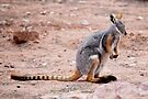 'Yellow Footed Rock Wallaby' by Ian Berry