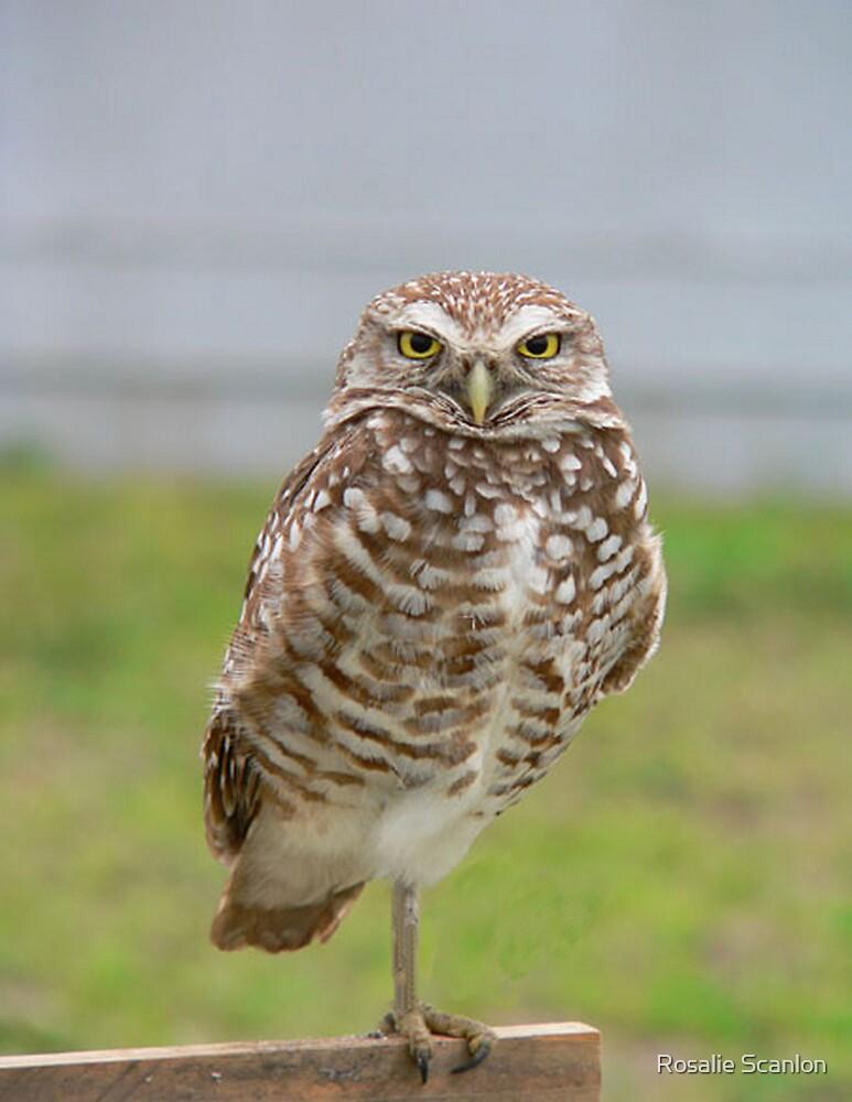 Burrowing Owl Adult by Rosalie Scanlon