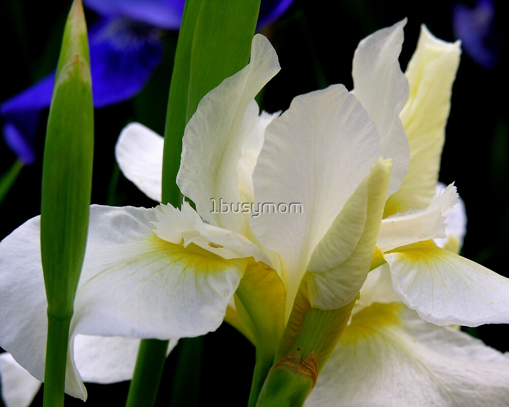 white iris and buds by 1busymom