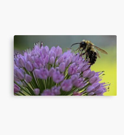 Bumble-Bee on Allium Flower Canvas Print