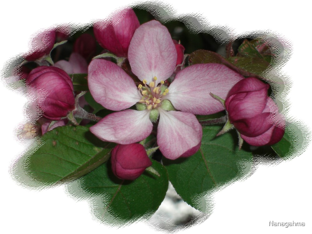 Crab Apple blossom with several buds by Nanagahma