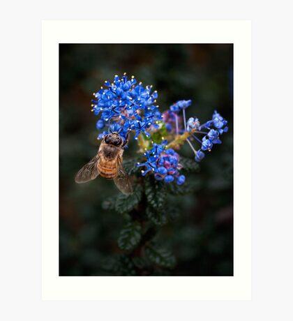 Biene auf Ceanothus Kunstdruck