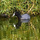 Eurasian Coot by Robert Elliott