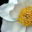 Krinkled White Peony by Debbie Oppermann