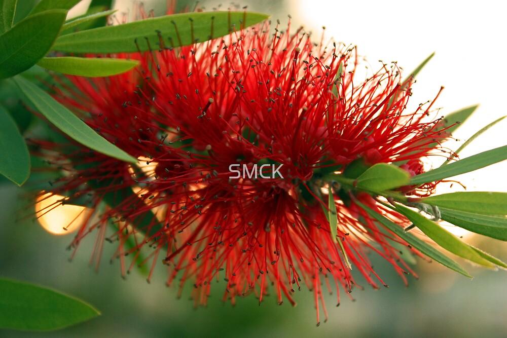 Red Bottlebrush by SMCK