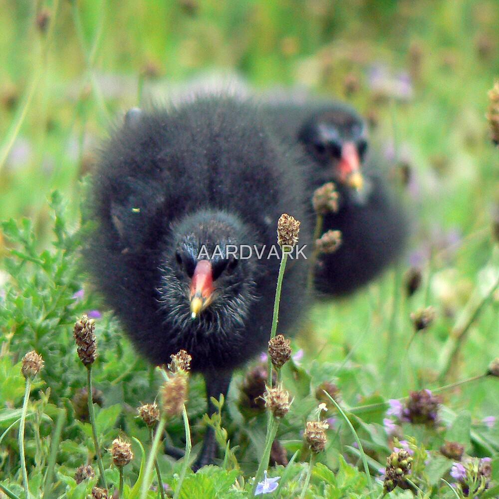 Coot Chicks by AARDVARK