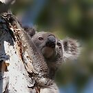Koala by Robert Elliott