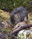 Wombat by Robert Elliott