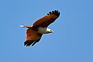 Brahminy Kite by Robert Elliott