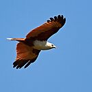 Brahminy Kite by Robert Elliott