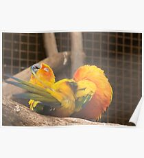 Grooming Sun Conures Poster