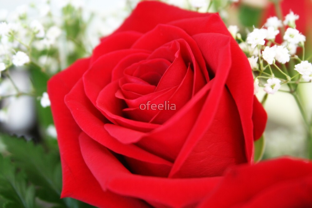 LOVE is like a red ROSE by ofeelia
