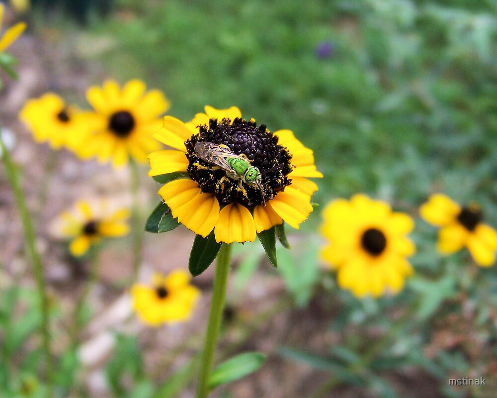 Making a meal of a black eyed susan by mstinak