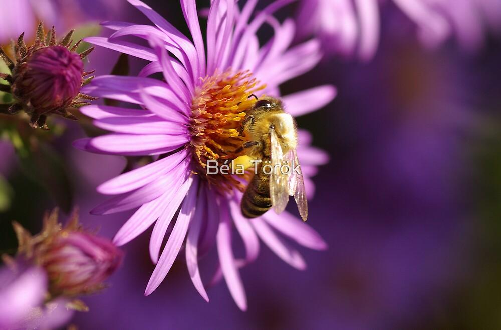 Honey-bee  by Béla Török