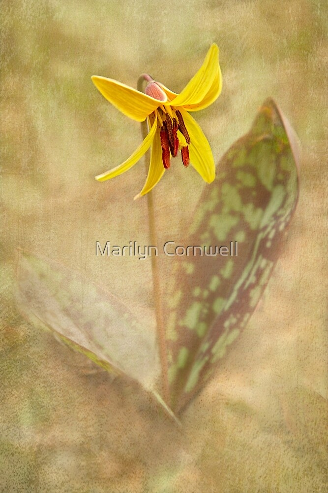 Trout Lily Spring by Marilyn Cornwell