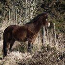 Dartmoor Pony by Yampimon