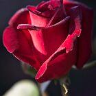 Roses in Yass (7) by Wolf Sverak