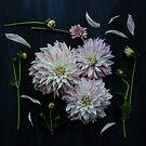 All the pretty dahlias by Cristina Colli
