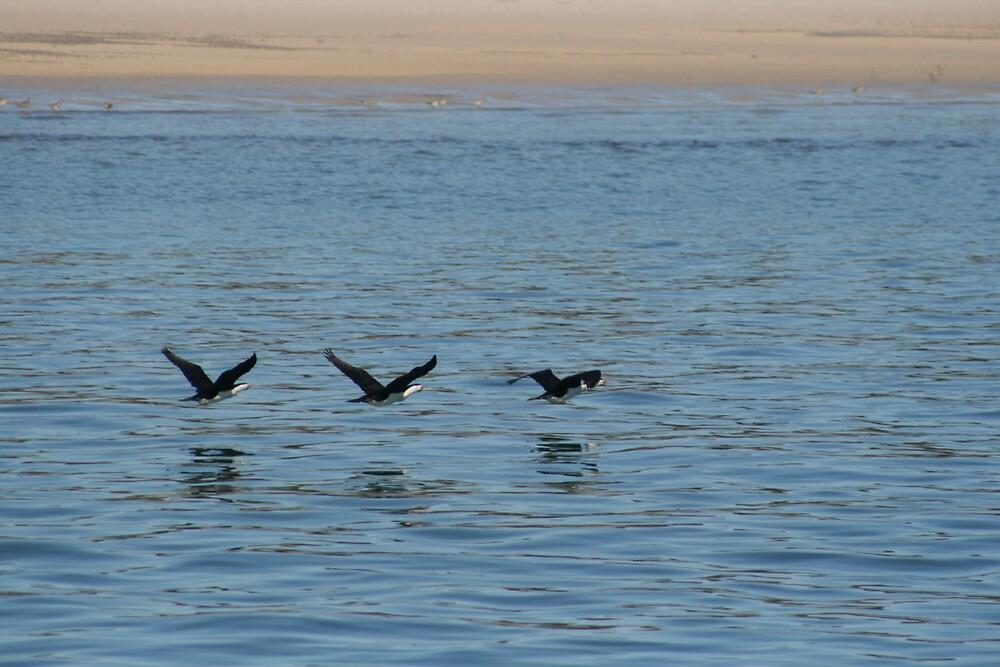 Cormorants in flight by AnnetteK