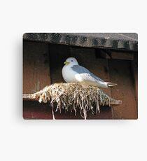 Nesting Seagull Canvas Print
