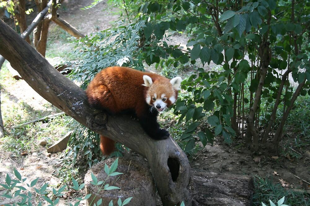 Red Panda by AnnetteK
