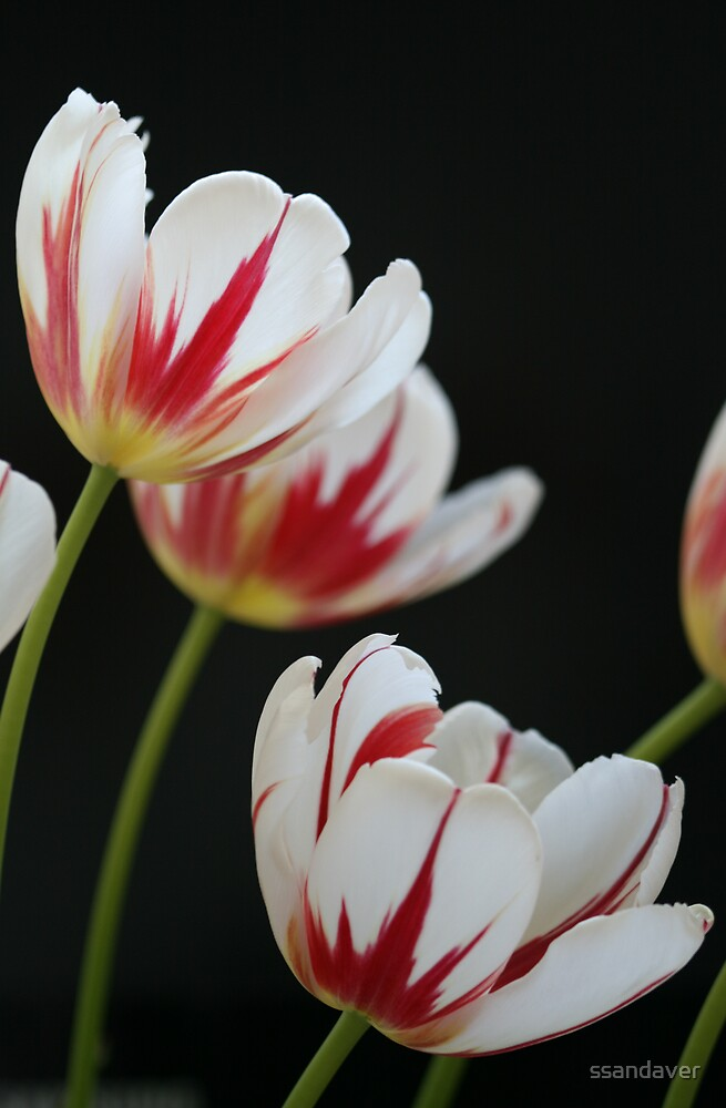 Tulips by ssandaver