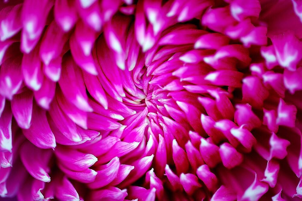 Pink Swirl by seriocomic