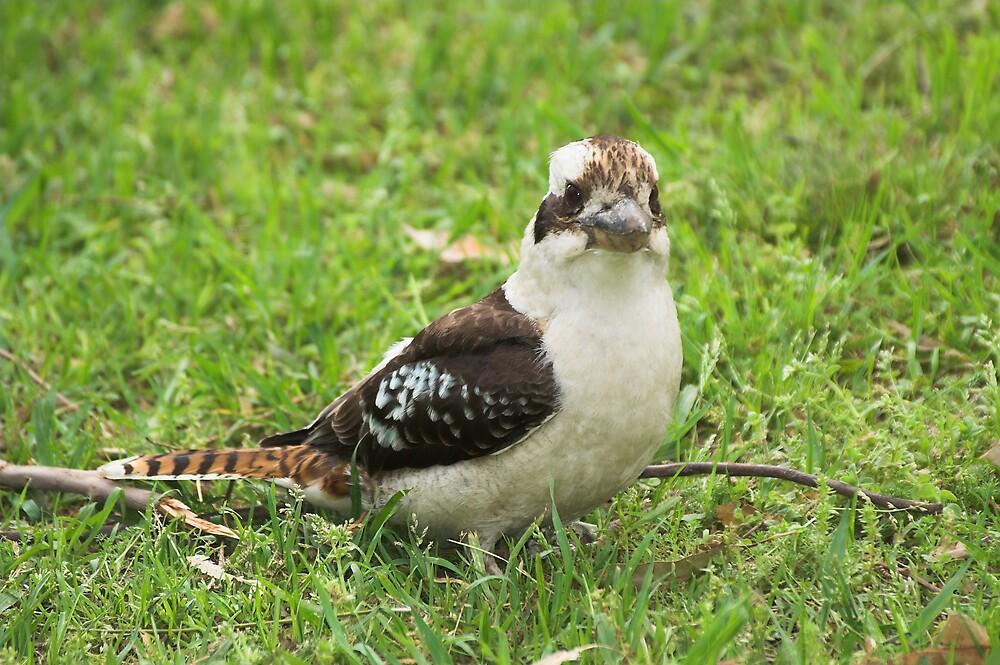 Kookaburra by Melva Vivian