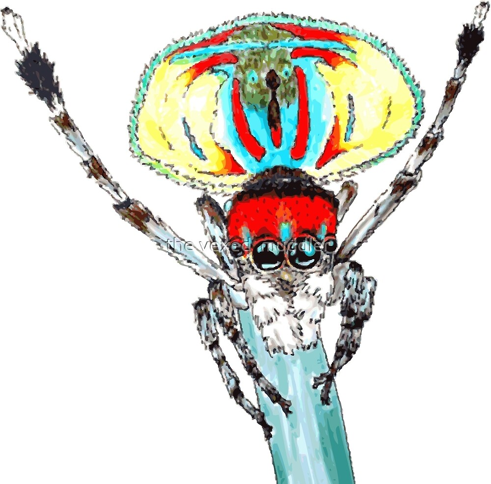Peacock spider Maratus volans by the vexed  muddler