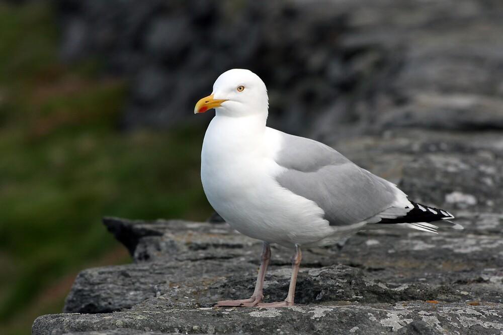 Seagull at Slea Head by John Quinn