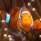 Clown fish by Johan Larson