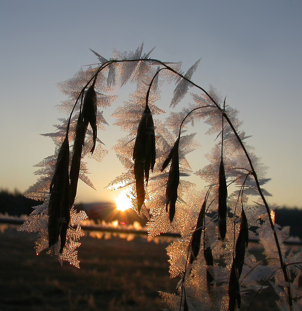 Frosted Cheatgrass by dougf