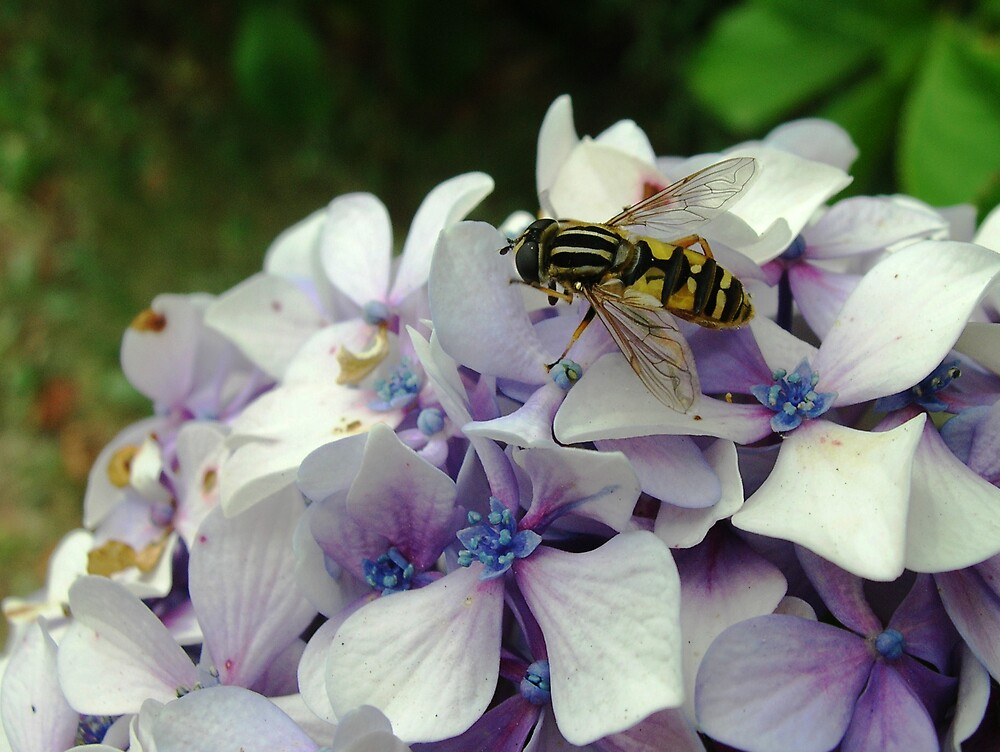 Hoverfly on Hydrangea by Gabrielle Battersby