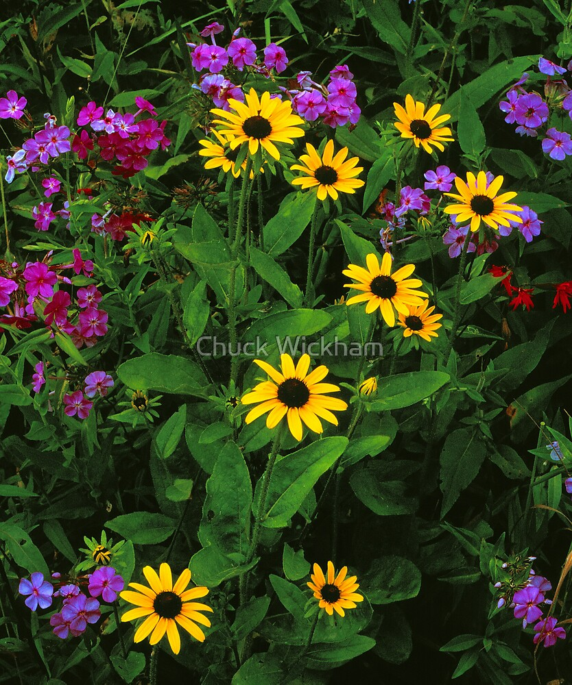 BLACKEYED SUSANS AND PHLOX by Chuck Wickham