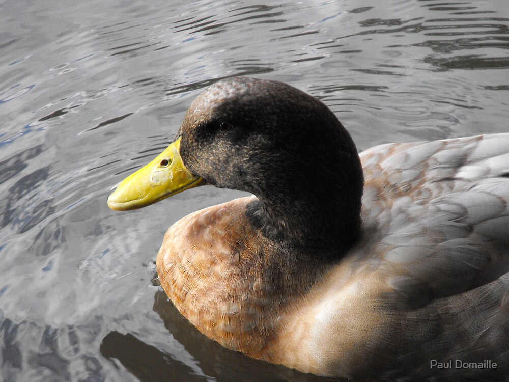 Duck by Paul Domaille