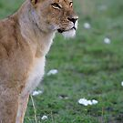 Young lion by Yves Roumazeilles