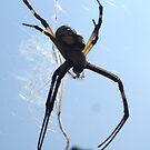 Garden spider. by ailene