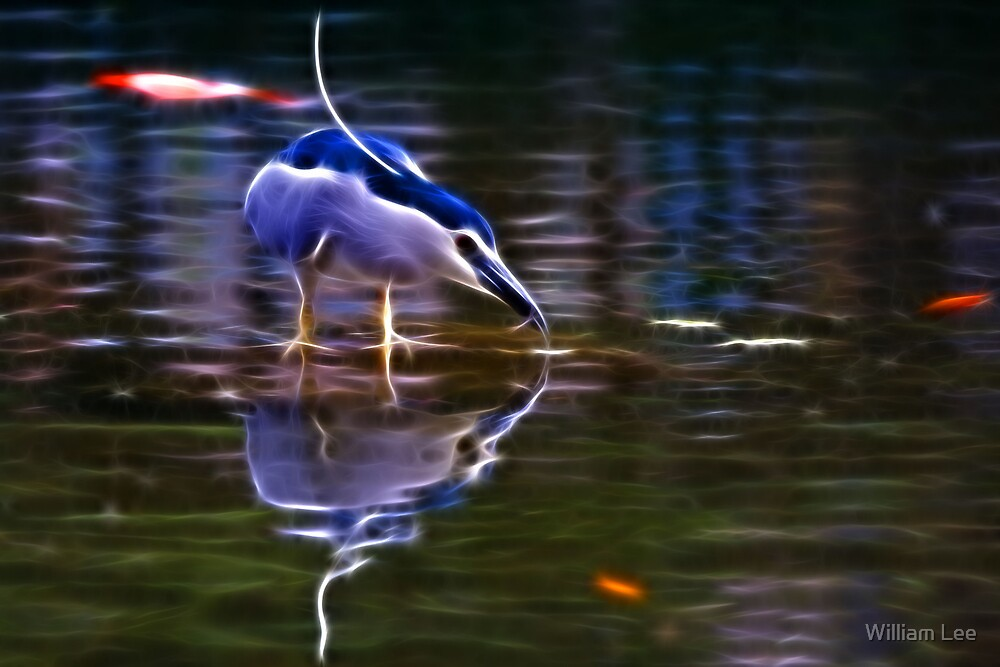 Black-Crowned Night-Heron by William Lee