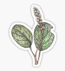 Salix Reticulata Sticker