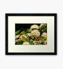 Nectaring Pearl Crescents Framed Print