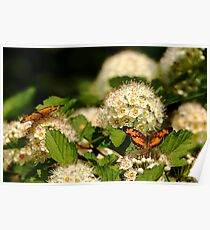 Nectaring Pearl Crescents Poster