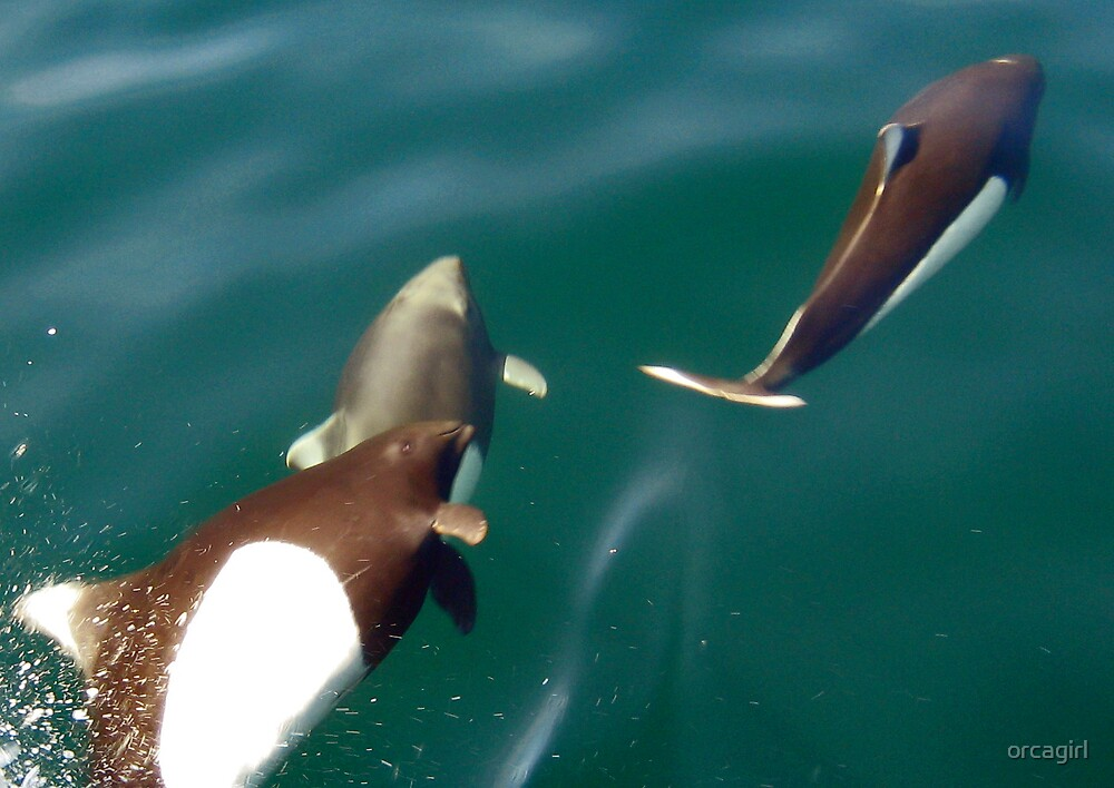 Dalls Porpoises by orcagirl