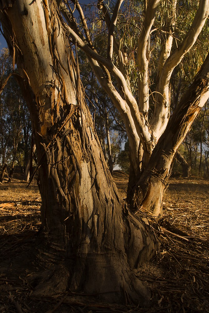 red gum tree trunk by daveoh
