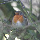 Robin2 by Cheryl Davies