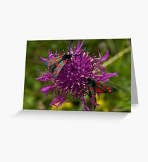 "Greater Knapweed with ""6-spot Burnet"" Moths Greeting Card"