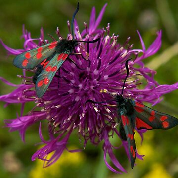 "Greater Knapweed with ""6-spot Burnet"" Moths by VeryIreland"