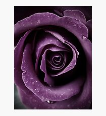 Purple Rose V Photographic Print